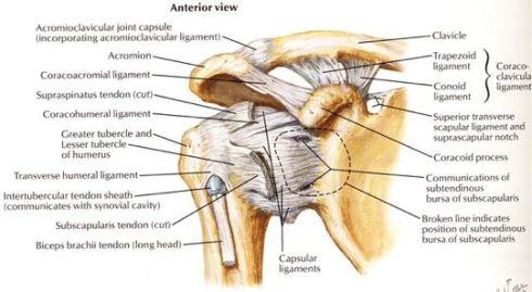Shoulder-Anatomy-Diagram-image-OwxH