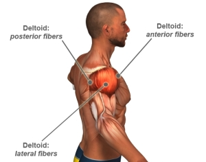 shoulder-muscles