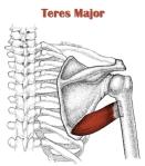 teres-major
