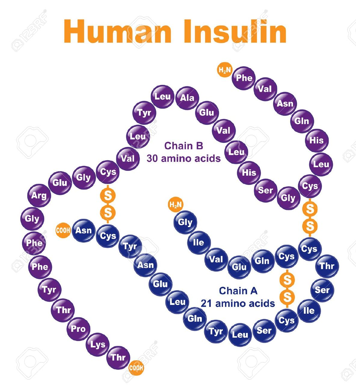 steroid hormones in human body